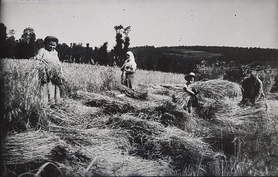 Ручна жетва 1952